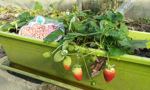 strawberry plant in green container