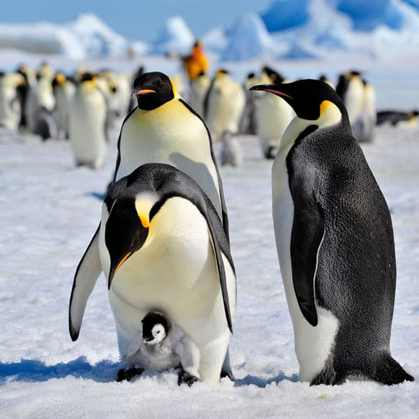 penguin chick standing on parent's feet with other penguins nearby